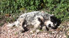 Spotty dog rolls on the ground Stock Footage