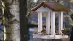 Sparrows picking bird seed Stock Footage