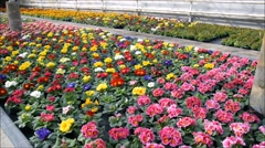 Many colorful primroses Stock Footage