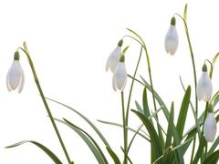 Snowdrops on the white background Stock Photos