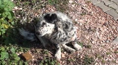 Spotty dog shakes and licks Stock Footage
