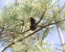 Stock Photo of Cedar cones on the tree
