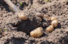 Digging up fresh home grown potatoes close up Stock Photos