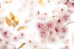 Sakura season in Kyoto, Japan - stock photo