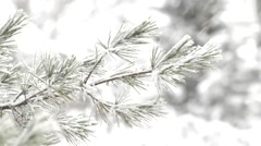 Long needle pine tree in snowstorm Stock Footage