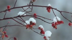Fruits of wild rose (Rosa canina) in winter , snow Stock Footage