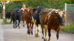 Herd of cows back to the farm Stock Footage