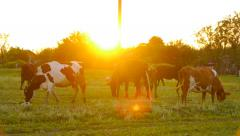Cow pissing, urination, micturition, pee herd of cows on the field Stock Footage