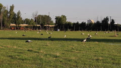Storks in a meadow to the Outskirts of Town Stock Footage