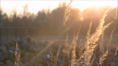 Perennial Grass / Holcus Lanatus In The Sunset Stock Footage