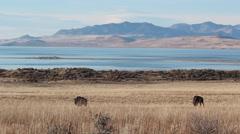 Bison Antelope Island Great Salt Lake Utah Stock Footage