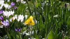 Easter basket in a crocus meadow Stock Footage