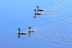 Swimming ducks - stock photo