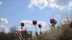 Purple tulips in springtime with blue skies Stock Footage