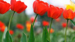 Red tulips in the garden. Sliding camera Stock Footage