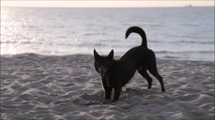 Dog digging on the beach Stock Footage