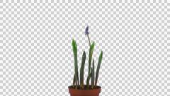 Growing, opening and rotating Muscari Latifolium flowers with ALPHA, UHD 4K Stock Footage