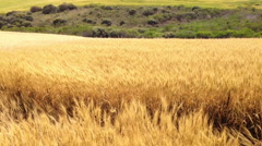 Wind on the Wheat Field Stock Footage