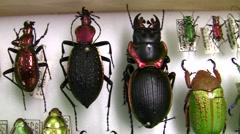 Shiny colorful beetles macro at insect fair slow pan Stock Footage