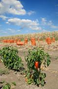 Agriculture, red paprika in field Stock Photos