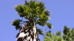 Palm tree swaying in strong wind - stock footage