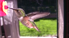 Hummingbird realtime with audio good wingfreeze female allens at feeder Stock Footage
