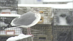 Seagull in a  Snowstorm Stock Footage