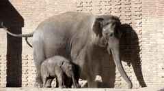 Elephant and baby elephant calf in open open-air cage of a zoo Stock Footage