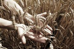 Stock Photo of Golden wheat field