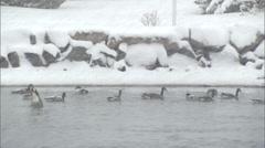 Canada Geese in a Coastal WInter Scene Stock Footage