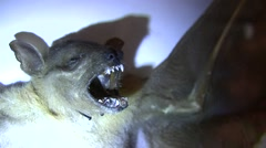 Bat fangs very close-up with light LANHM 2010 Stock Footage