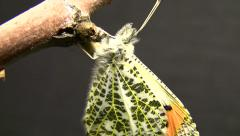 Sara Orange Tip butterfly Closeup just emerged Stock Footage