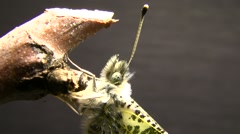 Sara Orange Tip butterfly Closeup just emerged Stock Footage