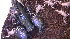 Insect Fair Emperor scoprion and babies macro LANHM 2010 Stock Footage