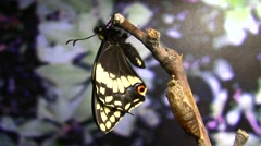 Papilio fordi Butterfly hanging expanding real time - stock footage
