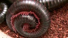 Insect Fair giant millipede coiled with legs wiggling LANHM 2010 Stock Footage