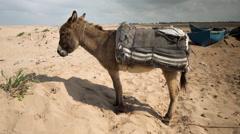 Stock Video Footage of donkey boat pony sea coast morocco