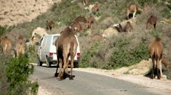 Morocco camel animal desert sahara nature Stock Footage