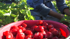 Close up of picking strawberries Stock Footage