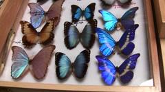 Insect Fair morphos slow pan up LANHM 2010 Stock Footage