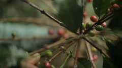 Farmer picking coffee in Mexico Stock Footage