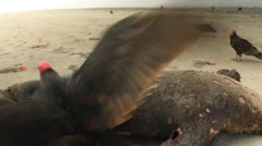 Turkey Vulture Feeding on Carcass of South American Fur Seal Stock Footage