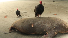 Turkey Vulture Feeding on Carcass of South American Fur Seal - stock footage