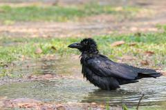 Natural scene of crow bathing in field Stock Photos