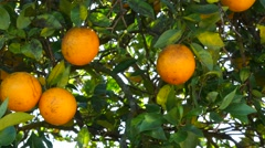 Florida Orange Grove - stock footage