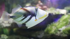 Blackbar triggerfish Stock Footage