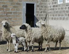 Group of sheep with a newborn lamb - stock photo