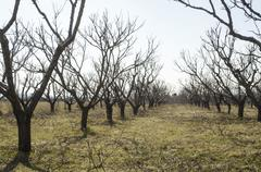 Stock Photo of Cropping trees in early spring
