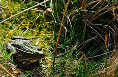 Green frog sitting in the grass in a pond Stock Photos