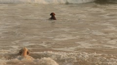 Funny dogs on the beach in sunset. Sri Lanka Stock Footage